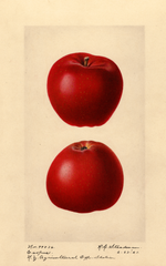 Apples, Esopus (1921)
