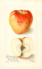 Apples, Esopus Spitzenberg (1905)