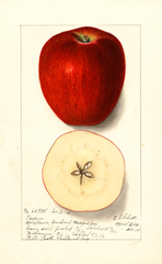 Apples, Esopus (1913)
