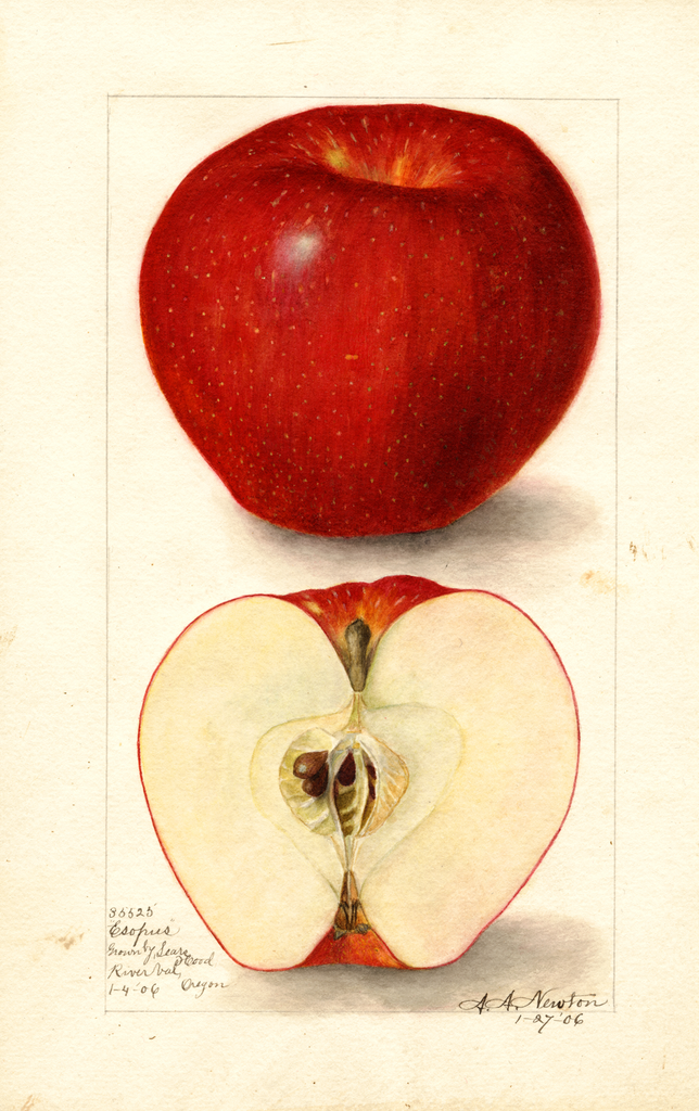 Apples, Esopus (1906)