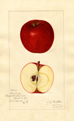 Apples, Esopus (1917)