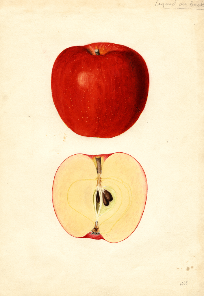 Apples, Esopus Spitzenberg (1936)