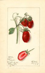 Strawberries, George Washington (1913)