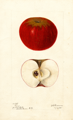 Apples, Gano (1895)