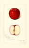 Apples, Gano (1913)