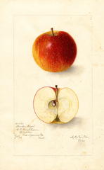 Apples, Garden Royal (1905)