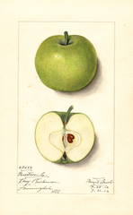 Apples, Garreston Early (1913)