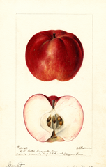 Apples, Garst (1896)