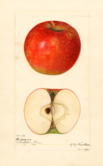 Apples, Gascoyne (1921)