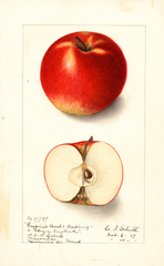 Apples, Gasconis Scarlet Seedling (1907)