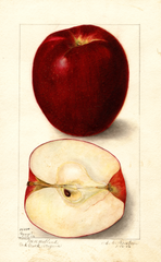 Apples, Gano (1906)