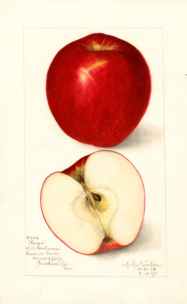 Apples, Gano (1907)