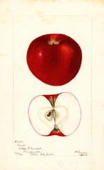 Apples, Gano (1902)