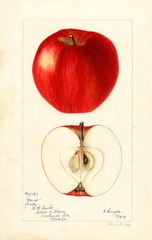 Apples, Gano (1897)
