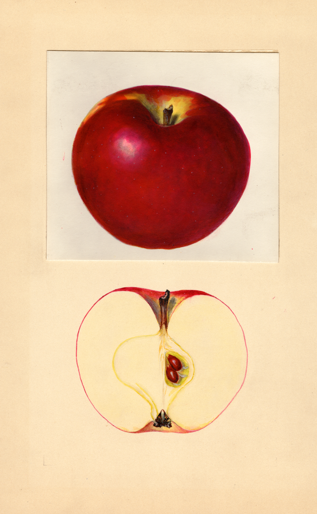 Apples, Gano (1937)
