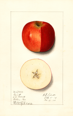 Apples, Gano (1914)