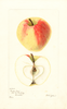 Apples, Garden Gem (1901)
