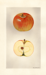 Apples, Garden Royal (1930)