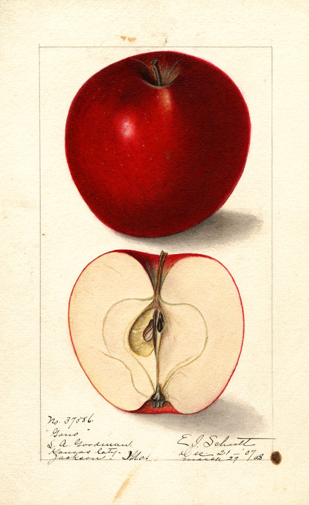 Apples, Gano (1908)