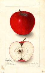 Apples, Gano (1912)