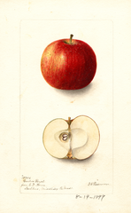 Apples, Garden Royal (1899)