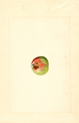 Apples, Newtown (1911)