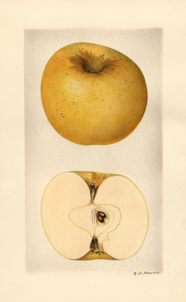 Apples, Grimes Golden (1928)