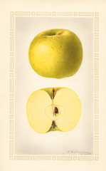 Apples, Grimes Golden (1924)