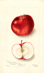 Apples, Fameuse Sucre (1904)