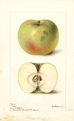 Apples, Gibbs (1899)