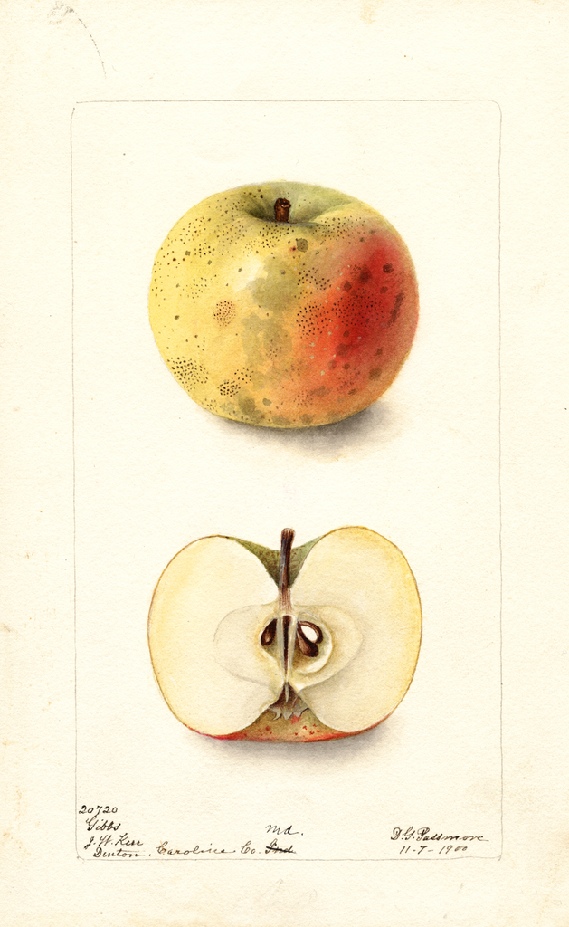 Apples, Gibbs (1900)