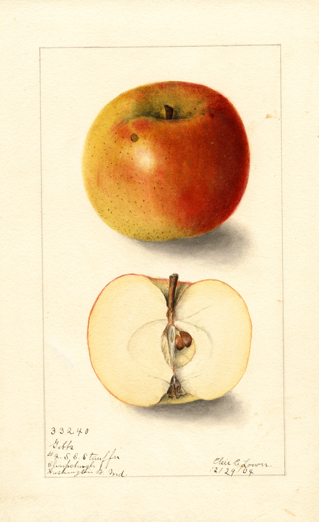 Apples, Gibbs (1904)