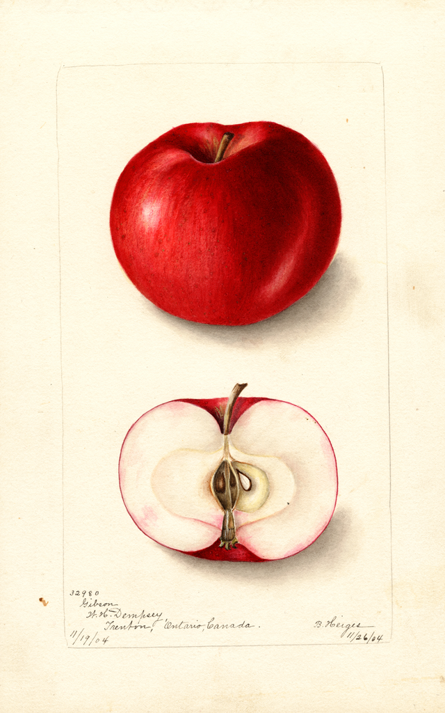 Apples, Gibson (1904)