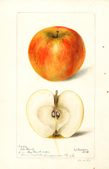 Apples, Gills Beauty (1897)