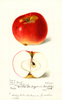 Apples, Gills Beauty (1899)