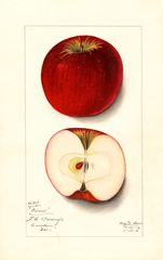 Apples, Givens (1912)