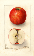 Apples, Gilpin Romanite (1908)