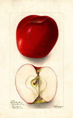 Apples, Black Ben Davis (1903)