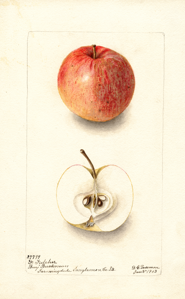 Apples, Doctor Fulcher (1903)