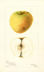 Apples, Green Crimean (1901)