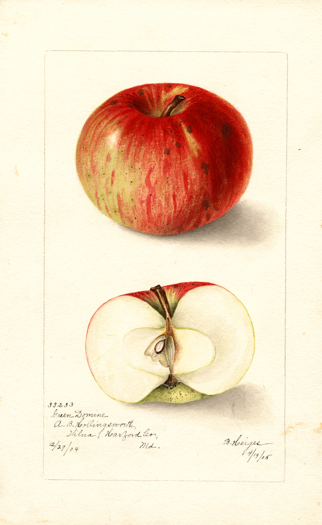 Apples, Green Domine (1905)