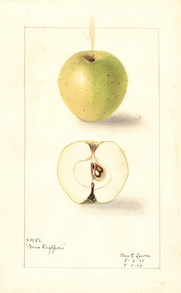 Apples, Grise Dieppois (1909)