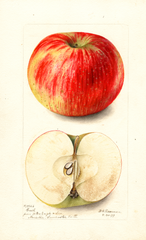 Apples, Grosh (1899)