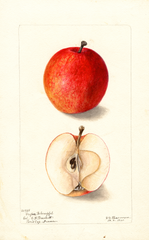 Apples, Grofser Bohnapfel (1900)