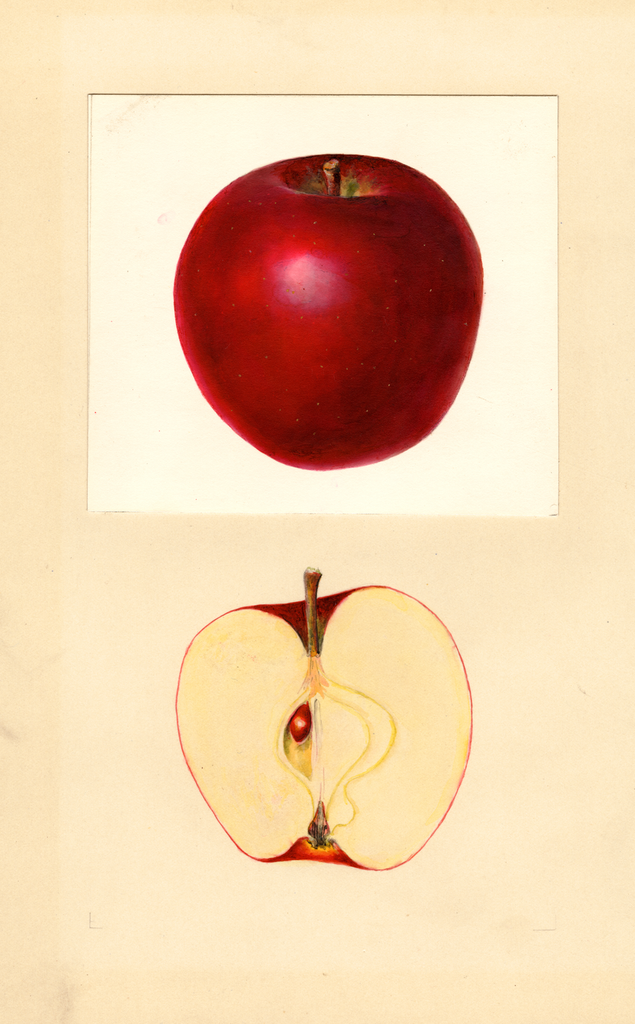 Apples, Grove (1938)