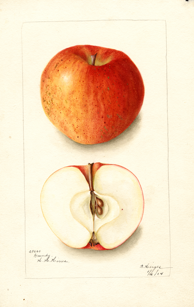 Apples, Grundy (1904)