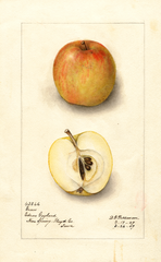 Apples, Gunn (1909)