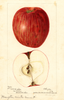 Apples, Hampton Winter Sweet (1896)