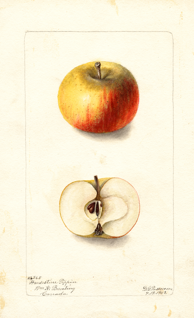Apples, Hardestine Pippin (1902)