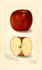 Apples, Harper (1915)